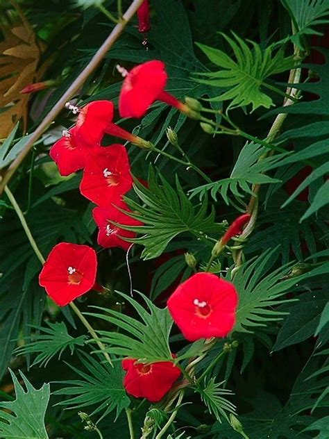 Morning Glory Red  Cypress Vine  Ipomoea Quamoclit 70