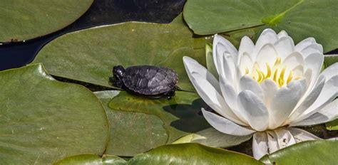 picture water leaf lotus aquatic flora nature