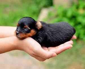 Yorkie Names: Cute Male & Female Yorkshire Terrier Names ...