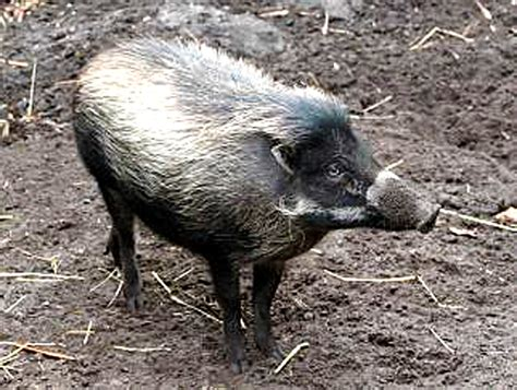visayan warty pig pigs philippines endemic conservation zoo learn wild brevard endangered threatened wildlife education through hunting
