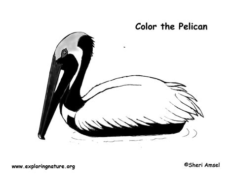 Pelican (brown) Coloring Page