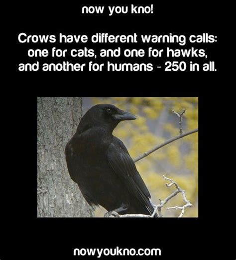 17 best images about corvidae ravens rooks crows