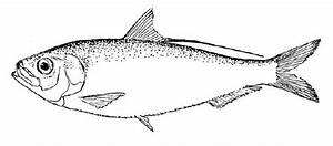 milk fish clipart black and white - Clipground