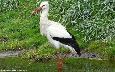 Wie Groß Ist Der Storch In Und Wie Sieht Er Aus? ... Mehr Auf Storchenelke's Webseite
