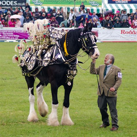 horse shire horses harness england decorated english giant gentle tack hobby draft pretty parade saddles christmas visit event