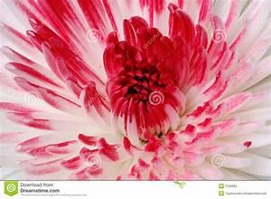 Fleur Rose Et Blanche : fleur rose et blanche photo de fleur une pensee fleuriste ~ Dallasstarsshop.com Idées de Décoration