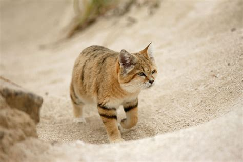 Elusive Arabian Sand Cat Spotted After 10 Years' Disappearance  New Scientist