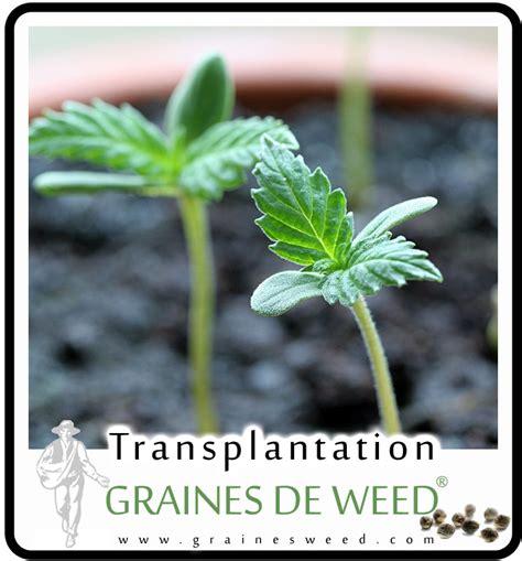 quand recolter cannabis exterieur 28 images comment faire pousser du cannabis le guide d 233
