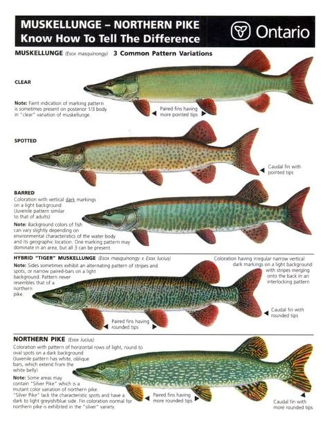 northern pike species recommended  httpwww