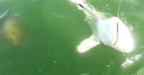 grouper goliath bite shark