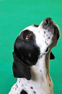109 best English Pointer images on Pinterest | Pointer ...