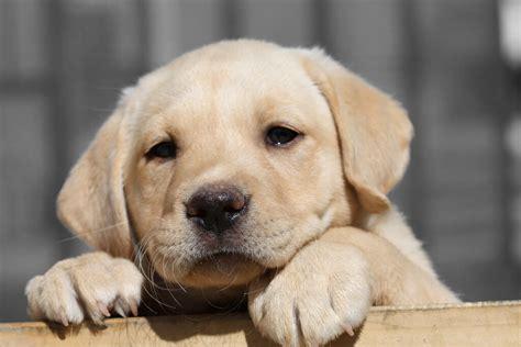 labrador puppies   dog food   buy