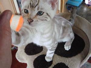 snow marble and silver marble bengal kittens | Market ...