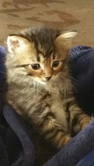 Half Bobcat Kitten  Critter Corner  Pinterest Kittens