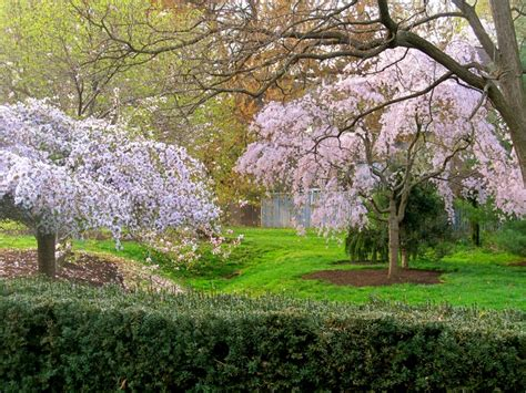 61 best images about cherry 61 best images about prunus yedoensis shirotae on