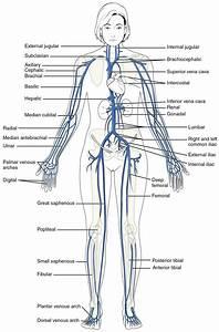 Diagram  Circulatory System Heart Diagram Worksheet