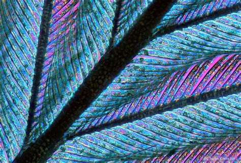 Feather Close Up, Could Incorporate This Into Decorations