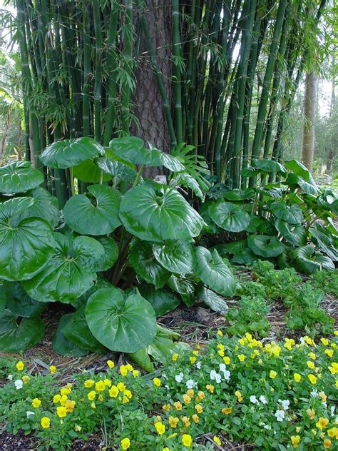 farfugium japonicum giganteum giant leopard plant