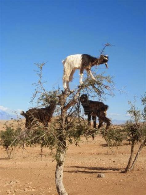 fresh fizzy goat tree