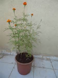Growing Marigolds in Containers
