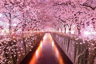 Sakura Cherry Japan Blossom