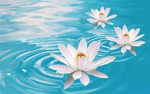 Lotus Flowers Wallpapers HD Pictures