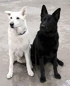 White and black German Shepherds | WANTS vs. NEEDS | Pinterest
