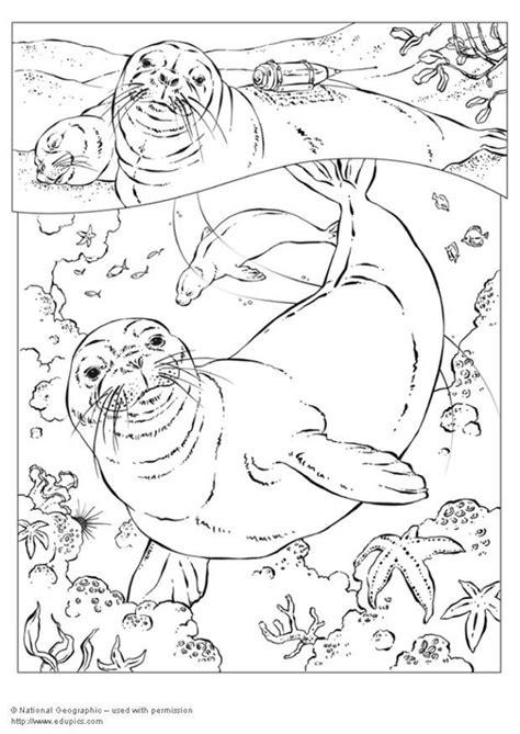 dibujo  colorear foca monje img