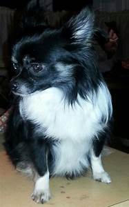Long Haired Teacup Chihuahua Black And White Pictures