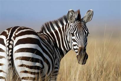 Zebra Sonhar Significa