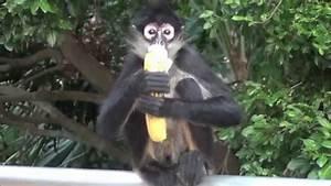 Spider Monkey eating a banana - YouTube