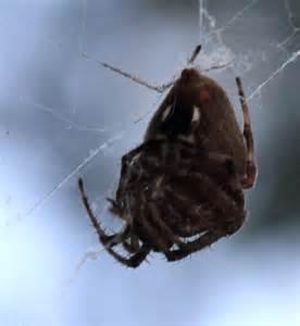 Spider with White Marking On Abdomen