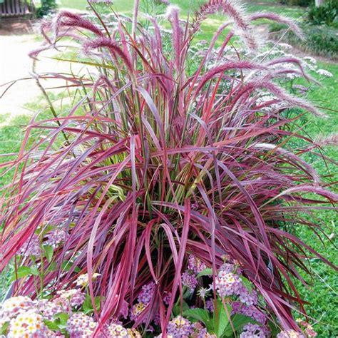 fountian grass plantwerkz red fountain grass pennisetum rubrum