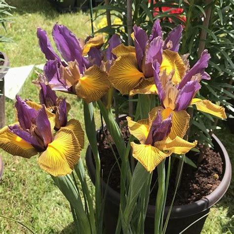 iris picasso dutch