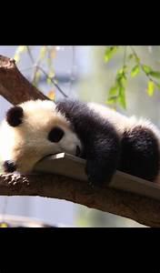 Amazon.com: Baby Panda Wallpaper -- HD Wallpapers of Baby ...