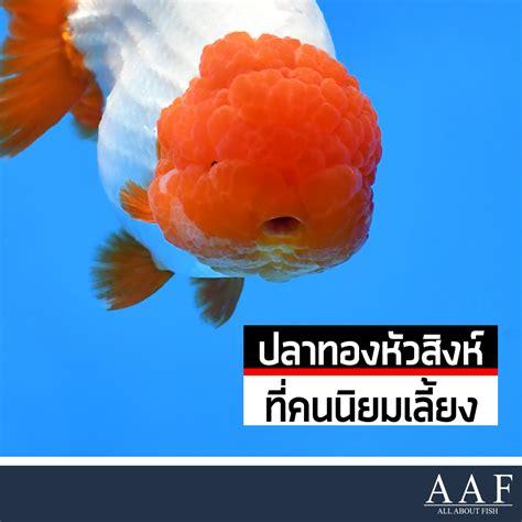 ปลาทองหัวสิงห์ ที่คนไทยนิยมเลี้ยงตลอดกาล - All About Fish
