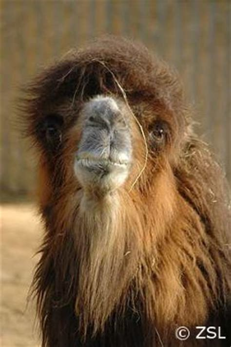 Species of the Week: Bactrian Camel EDGE of Existence