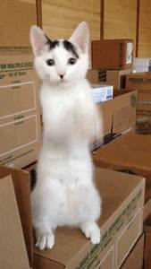 Dance Cat Amazing Funny GIFs - Find & Share on GIPHY