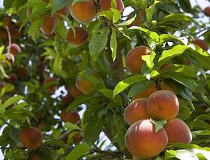 What You Need To Know About Peach Leaf Curl | Bylands ...