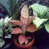 wwwtanamanhiascom jenis tanaman hias aglaonema