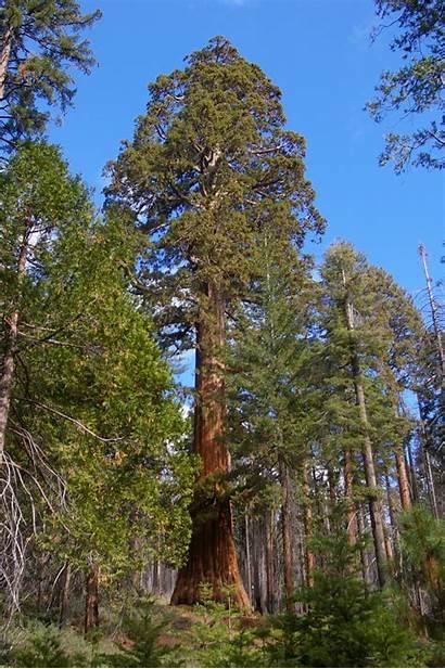 Tall Trees Short Both Sequoia Rv