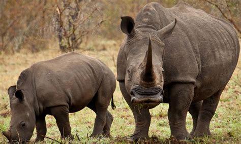 rinoceronte caracteristicas tipos  comen donde