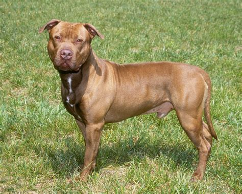 pits pictures american pit bull terrier free hd wallpapers images backgrounds