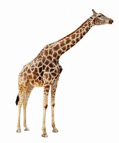 Giraffe Transparent Animals Animal Zoo Clipart Clip