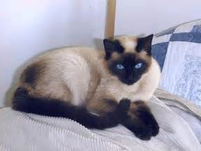 lame cherry a seal point siamese cat