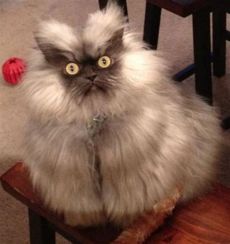 angry  cat  pics funnycom