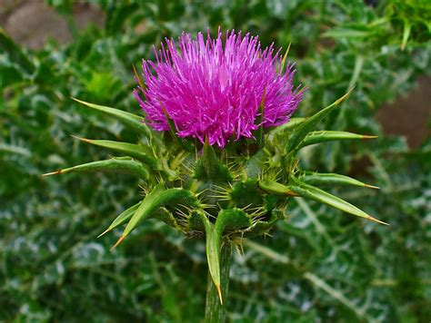 The Positive Estrogenic Effects Of Milk Thistle Extract