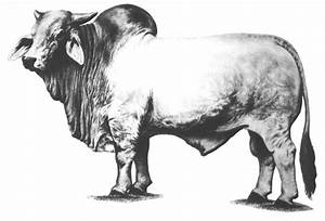 14 Cow Drawing Brahman For Free Download On Ayoqq Cliparts