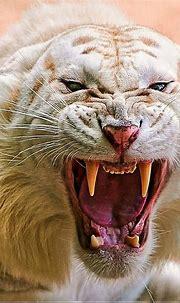 White Tiger Kinda Mad | Big cats art, Wild cats, Majestic ...