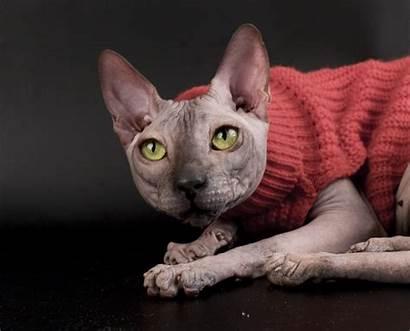 Sphynx Cat Sweater Cats Kittens Wallpapers Desktop